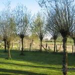 Salix alba - Wilg / Knotwilg / Schietwilg - Salix alba