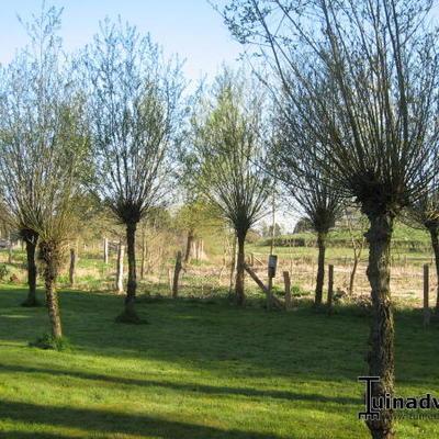 Salix alba -
