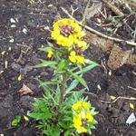 Erysimum 'Yellow Bird' - Steenraket - Erysimum 'Yellow Bird'