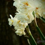 Narcissus 'Sir Winston Churchill' - Narcis