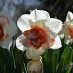 Narcissus 'My Story' - Narcis