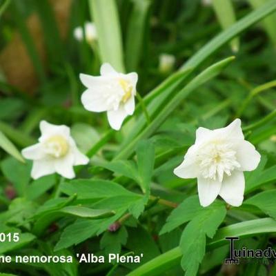 Anemone nemorosa 'Alba Plena'  -