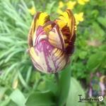 Tulipa 'Insulinde' -