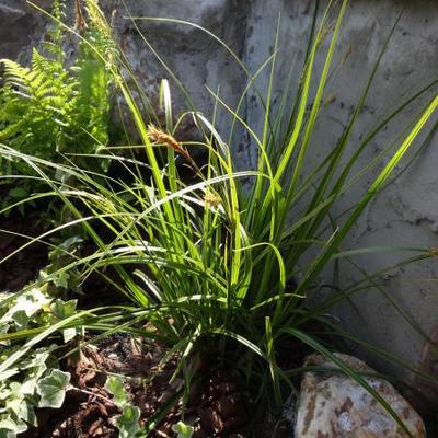 Carex oshimensis 'Everlime'  -