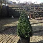 Buxus sempervirens - Buxus, randpalm