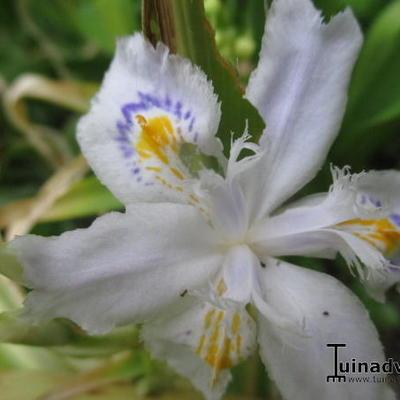 Iris tectorum 'Cruella' -