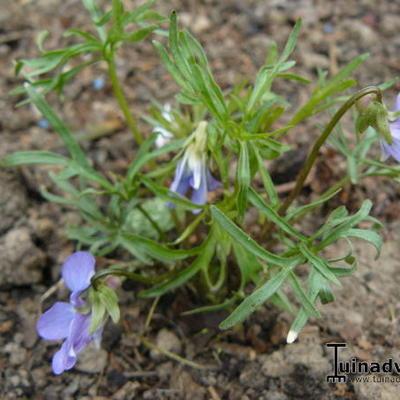 Viola pedatifida -