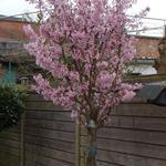 Prunus nipponica 'Brillant' - Japanse kerselaar