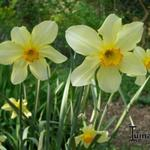 Narcissus 'Barrii Conspicuous' - Narcis