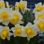 Narcissus 'Goblet' - Narcis