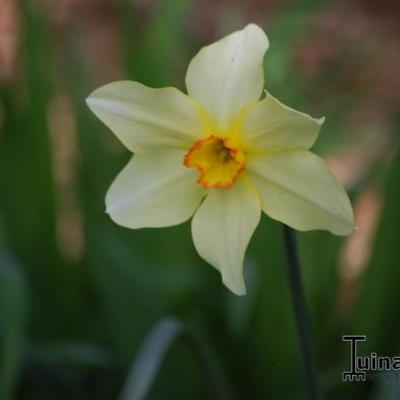 Narcissus poeticus var. recurvus -