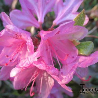 Rhododendron 'Aglo Mezitt' -