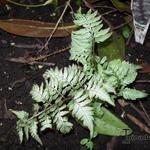 Athyrium niponicum var. pictum 'Silver Falls' - Athyrium niponicum var. pictum 'Silver Falls' - Japanse regenboog