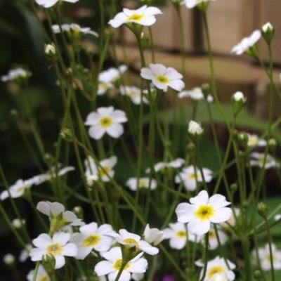 Androsace septentrionalis 'Stardust' -