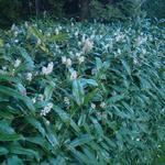 Prunus laurocerasus 'Zabeliana' - Laurierkers - Prunus laurocerasus 'Zabeliana'