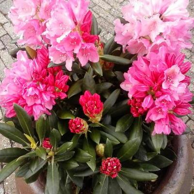 Rhododendron yakushimanum 'Kalinka' -