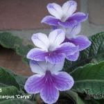 Streptocarpus 'Carys' - Streptocarpus 'Carys' - Kaapse primula / spiraalvrucht / draaivrucht