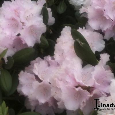 Rhododendron 'Jacksonii' - Rododendron