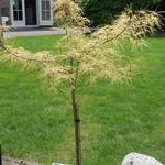 Acer palmatum 'Koto no ito' - Japanse esdoorn