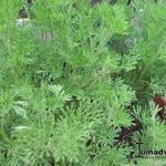 Artemisia abrotanum var. maritima - Artemisia abrotanum var. maritima - Colakruid