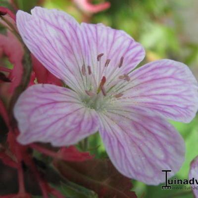 Geranium sylvaticum 'Melinda' -