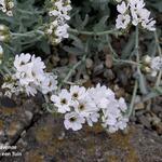 Achillea clavennae - Achillea clavennae - Duizendblad