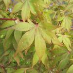 Japanse esdoorn - Acer palmatum 'Osakazuki'