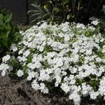 Phlox subulata 'Maischnee' - Kruipphlox - Phlox subulata 'Maischnee'
