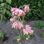 Akelei - Aquilegia vulgaris 'Rose Barlow'
