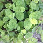 Mentha suaveolens - Witte munt, appelmunt - Mentha suaveolens