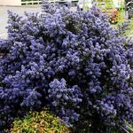 Ceanothus  impressus 'Puget Blue' - Ceanothus  impressus 'Puget Blue' - Amerikaanse sering