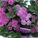 Ageratum houstonianum 'Artist Rose' - Ageratum houstonianum 'Artist Rose' - Mexicaantje, leverbalsem, donsbloem
