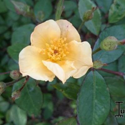 Rosa 'Souvenir de Louis Lens' -