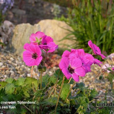 Geranium cinereum 'Splendens' -