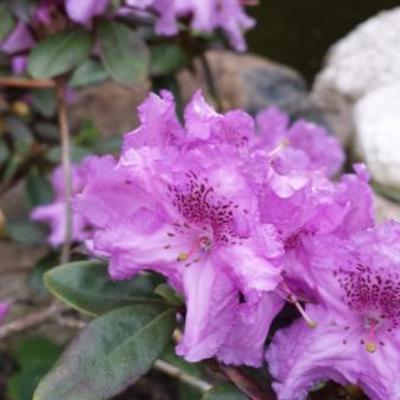 Rhododendron 'Lavendula' -