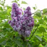 Syringa vulgaris 'Michel Buchner' - Sering - Syringa vulgaris 'Michel Buchner'