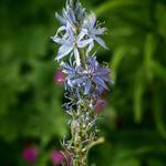 Camassia leichtlinii 'Blue Candle' - Camassia leichtlinii 'Blue Candle' - Prairielelie