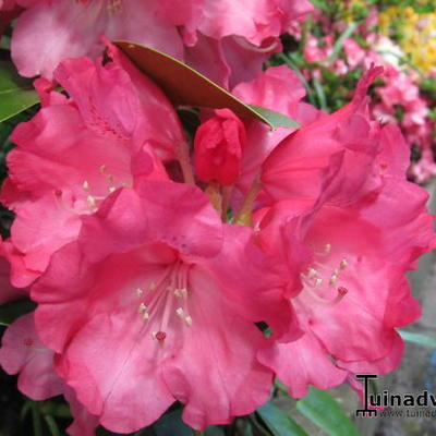 Rhododendron yakushimanum 'Sneezy' - Rododendron - Rhododendron yakushimanum 'Sneezy'