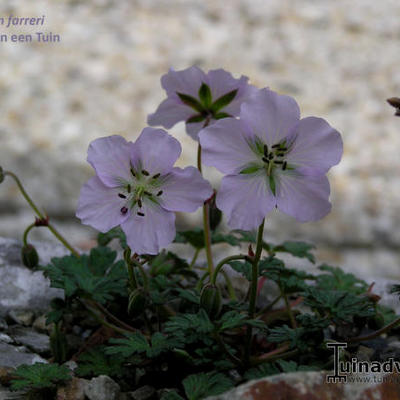 Geranium farreri -