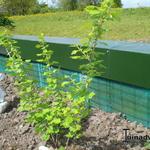Ribes uva-crispa 'Captivator' - Stekelbes - Ribes uva-crispa 'Captivator'