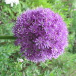 Allium 'His Excellency' -