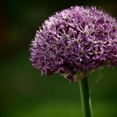 Allium altissimum -