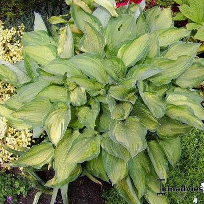 Hosta 'Julie Morss' -