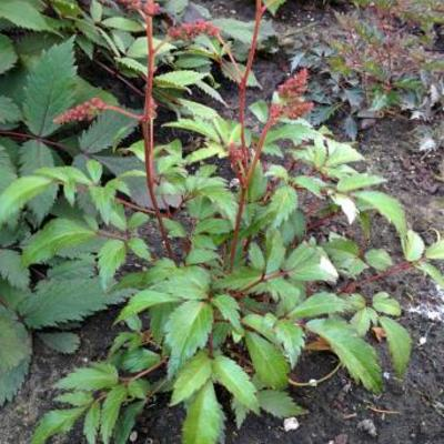 Astilbe x arendsii  'ASTARY Pink' -