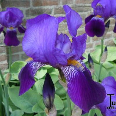 Iris germanica 'Pioneer' -