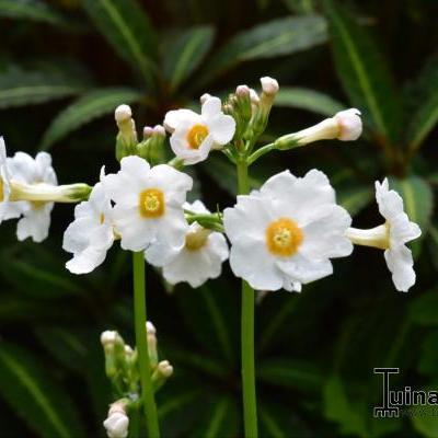 Primula japonica 'Fuji White' -