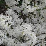 Rhododendron 'Schneewittchen' - Japanse azalea