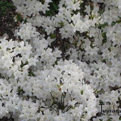 Rhododendron 'Schneewittchen' -