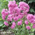 Lychnis viscaria 'Plena' - Rode pekanjer