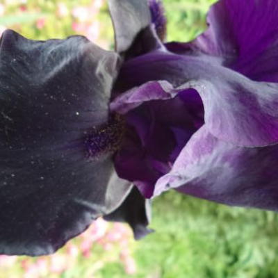 Iris germanica  'Night Owl' -